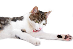 Spoted cat Stock Images