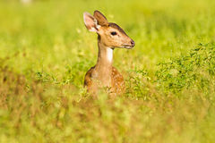 Spoted deer Stock Photos