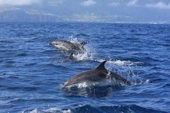 spoted delfin Royaltyfri Fotografi