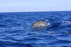 spoted delfin Royaltyfri Foto