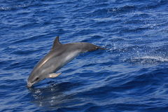Spoted Dolphin