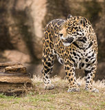 Spoted Jaguar Royalty Free Stock Image