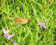 Spoted munia. On grass nature Stock Photo