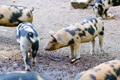 Spoted piglets. Spotted piglets roam around searching for something to eat in the ground. These are free roaming animals that live outside. A very animal Stock Photography