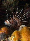 Spotfin蓑鱼01 库存图片