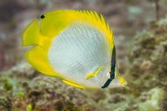 Spotfin蝴蝶鱼在巴哈马 图库摄影