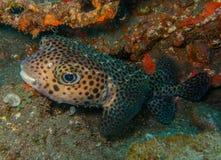 Spotfin burrfish- Canarische Eilanden stock afbeelding