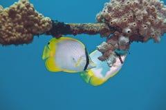 Spotfin Butterflyfish foto de archivo libre de regalías