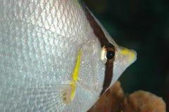 Spotfin Butterflyfish. Macro of a Spotfin Butterflyfish-Chaetodon occelatus Royalty Free Stock Photography