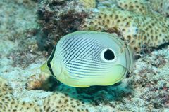 Spotfin butterflyfish Royalty Free Stock Image