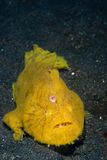 Spotfin frogfish Stock Image