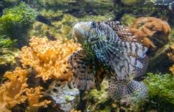 Spotfin lionfish ή Broadbarred firefish ή antennata Pterois Στοκ Φωτογραφία