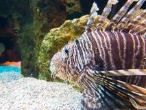 Spotfin lionfish υποβρύχιο Στοκ Εικόνα