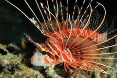 Spotfin Lionfish Stock Afbeelding