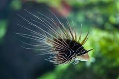 Spotfin lionfish (antennata Pterois) Στοκ Εικόνες