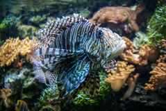Spotfin lionfish or Broadbarred firefish or Pterois antennata Royalty Free Stock Photography