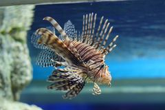 Spotfin lionfish Stock Photo