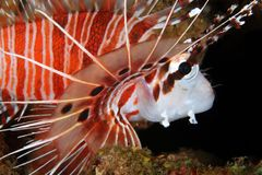Spotfin Lionfish Close-up Royalty Free Stock Images