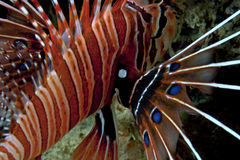 Spotfin Lionfish Pectoral fin display Stock Photography