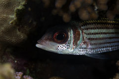 Spotfin squirrelfish  (neoniphon sammara) in the Red Sea. Royalty Free Stock Photos
