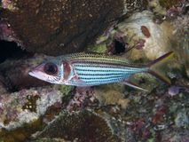 Spotfin squirrelfish Stock Photo