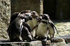 spotkanie pingwin Obrazy Stock