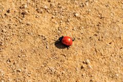 Spotless ladybird on ground Stock Photography