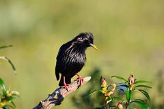 Spotless starling perched on a branch. Stock Photo