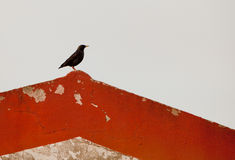 A Spotless Starling on a roof Royalty Free Stock Photography