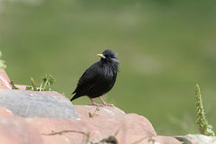 Spotless starling, Sturnus unicolor Royalty Free Stock Photography