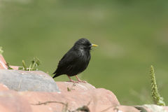 Spotless starling, Sturnus unicolor Royalty Free Stock Image