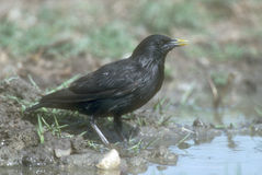 Spotless starling, Sturnus unicolor, Stock Photos