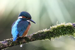 In the spotlight. A kingfishers is hunting for fish Royalty Free Stock Photo