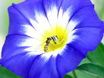 Spotlight on bee. Tiny bee on a morning glory type flower (convolvulus Royalty Free Stock Photography