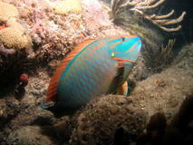 Spotlight Parrotfish. Common to Florida and the Caribbean. They swim about reefs stopping to scrape algae from rocks and coral. This shot was taken on one of my stock photography
