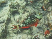 Spotlight parrotfish Sparisoma viride initial phase. Reef fish, snorkeling bonaire, caribbean sea Royalty Free Stock Photo