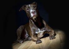 Spotlight Portrait of a Dog Stock Images