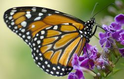 Spots. Orange, black, white spotted butterfly on some purple flowers Stock Images