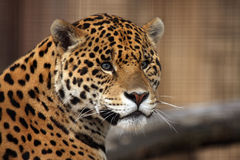 Spots. Closeup of a Jaguar with beautiful eyes Royalty Free Stock Image