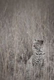 Spots. A leopard sitting in the grass in a South African national park Stock Photography