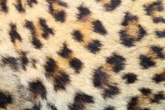 Spots on real leopard fur Stock Image