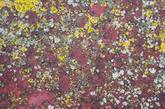 Spots of a yellow  lichen Stock Photos
