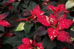 Spotted玷污了红色一品红植物 库存照片