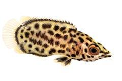Spotted african leaf fish Ctenopoma acutirostre tropical aquarium fish Stock Photos