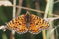 Spotted aka Red-band Fritillary. Melitaea didyma butterfly. Royalty Free Stock Photo