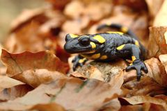 Spotted amphibian. Nice spotted salamander in natural habitat Royalty Free Stock Photo
