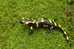 Spotted amphibian Royalty Free Stock Photography
