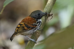 Spotted Antbird (Hylophylax naevioides) eating a spider - Gamboa Royalty Free Stock Photo