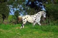 Spotted appaloosa horse outdoors. Appaloosa horse outdoors on a farm Royalty Free Stock Images