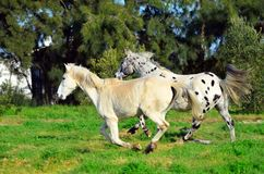 Spotted appaloosa horse outdoors running. Appaloosa horse outdoors on a farm running with another white horse Stock Photography